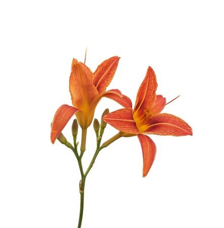 daylily: Single orange day-lily flower head, isolated on white Stock Photo