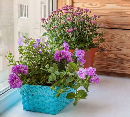 balcony window: Double petunia in a basket and chrysanthemums  on the balcony window Stock Photo