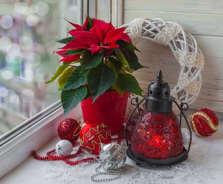 pulcherrima: Decor winter window on the eve of Advent with Christmas star  (Euphorbia pulcherrima)