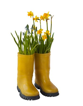wellingtons: Yellow daffodils, yellow blue muscari and rubber boots isolated on white background
