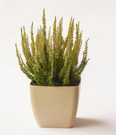 heather: Pot with heather