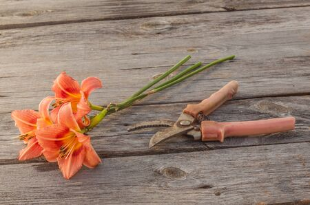 secateurs: Salmon-colored Daylily (hemerocallis) and secateurs on a wooden background Stock Photo