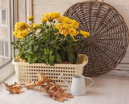 hojas secas: Otoño Naturaleza muerta con crisantemo amarillo a gran indio y seca las hojas en la ventana