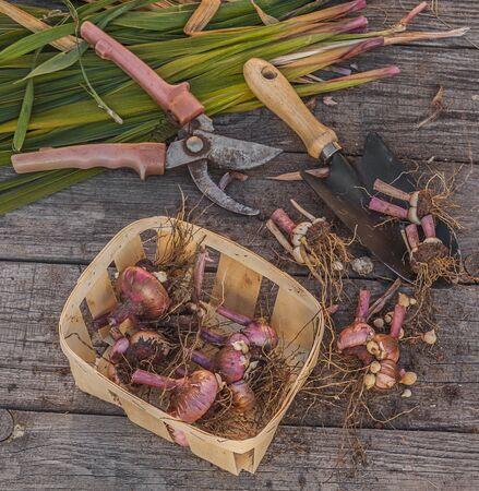 Gladioli dug in autumn, to put in storage