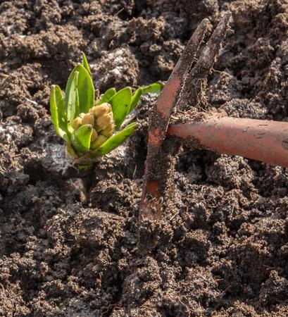 flowerbed: Weeding hoe small hyacinth on flowerbed