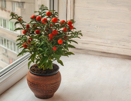 nightshade: Nightshade (Solanum pseudocapsicum) with red fruits  in a ceramic pot on a window