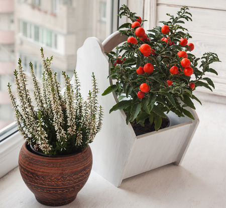 nightshade: Nightshade (Solanum pseudocapsicum) with red fruits and heather in a ceramic pot on a window Stock Photo
