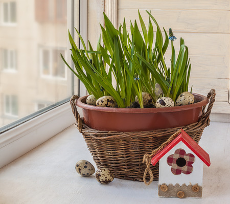 decorative balconies: Cultivation muscari  in pots and in the rural baskets on the balcony window Stock Photo