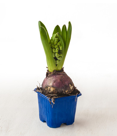 accelerated: Hyacinth for of accelerated flowering in pot on a background of white table Stock Photo