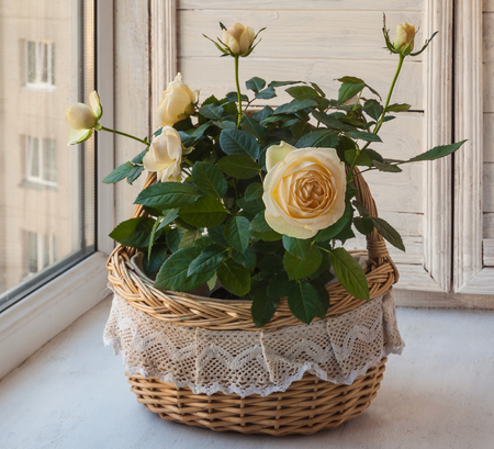 ashy: Cream rose in a romantic basket on   window.
