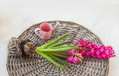 Pink hyacinth lies on a wicker circle next to a decorative watering can