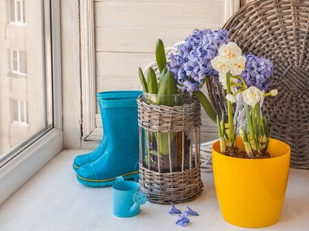rubber boots: Hyacinths and daffodils bloom in the window on the background of rubber boots