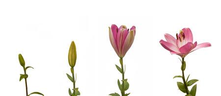 De volgorde van de bloeiende bloem roze lelie Oriental hybriden op een witte achtergrond geïsoleerde Stockfoto