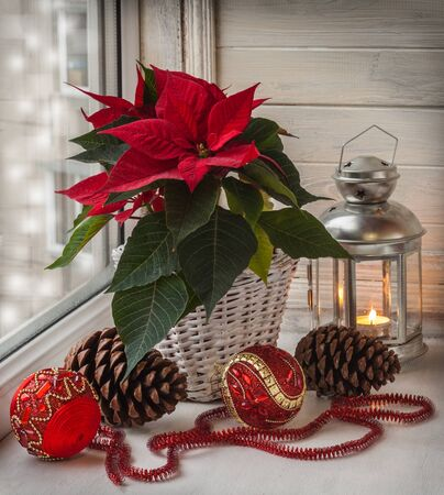 pulcherrima: Poinsettia  (Euphorbia pulcherrima), Christmas decorations and lights in the window on the eve of Advent