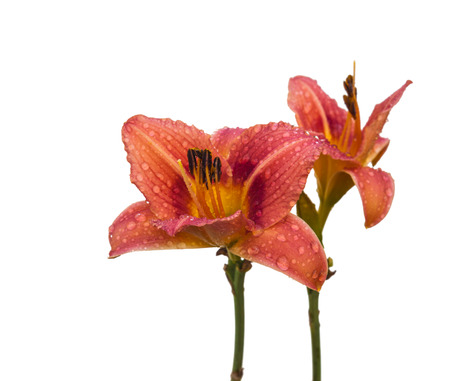 daylily: Salmon-colored  Purple Bicolor Daylily (hemerocallis) drops of dew on a white background isolated.
