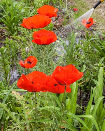 oriental poppy: Watering Papaver orientale (Oriental poppy) in the garden