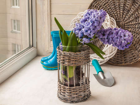 rubber boots: Hyacinths in a basket on a  background rubber boots on the window Stock Photo