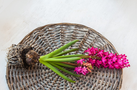 forced: Pink hyacinth lies on a wicker circle