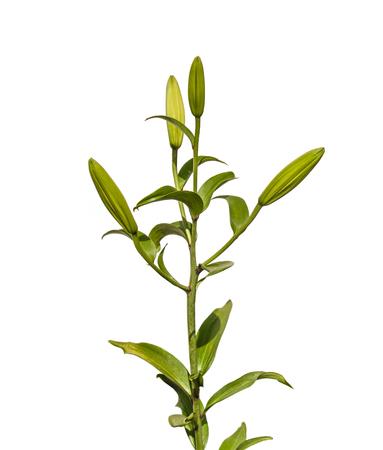 flor de lis: La rama de lirios orientales h�bridos (Lilium LA-h�bridos) con los brotes en un fondo blanco aislado