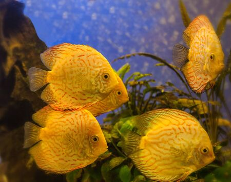 discus: Yellow Gold discus fish. Discus (Symphysodon discus)  is swimming   in the blue water. Stock Photo