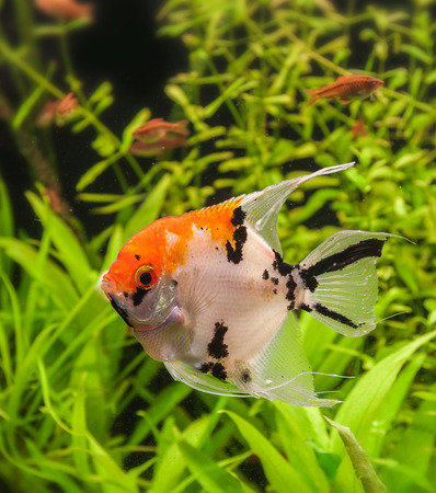 cichlidae: Pterophyllum is a small genus of freshwater fish from the family Cichlidae known to most aquarists as angelfish