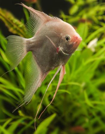 scalare: Angelfish (Pterophyllum scalare) in aquarium