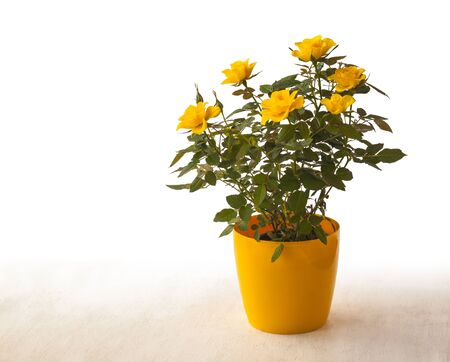 Yellow rose in the yellow pot on a white background