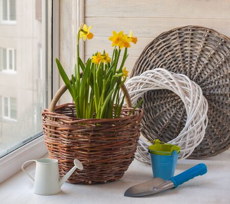 forcing: Daffodils in  basket and a decorative watering can on background braided circle Stock Photo