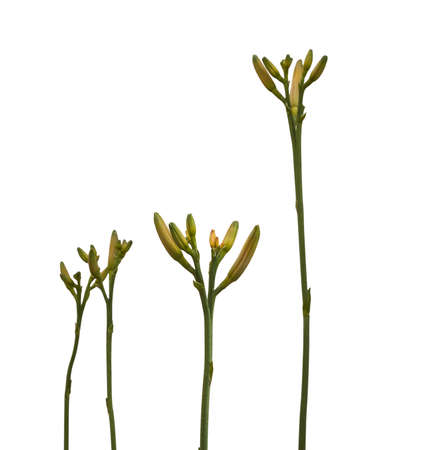 daylily: Stems  daylily with buds on a white background isolation Stock Photo