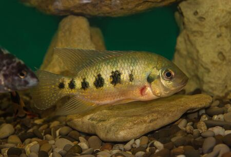 chidae: Central American fish Cichlasoma family in the aquarium