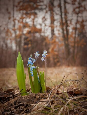Scilla siberica (Siberian squill, wood squill) is a species of flowering plant in the family Asparagaceae, growing in the plains and mountain meadows in Europe and Asia. Stock Photo