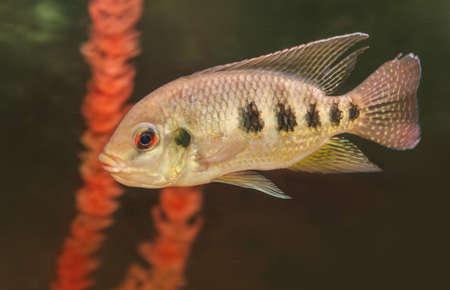 cichlid: Central American fish cichlid family  in the aquarium