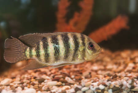 Striped fish aquarium cichlids Lakes region of Africa Group