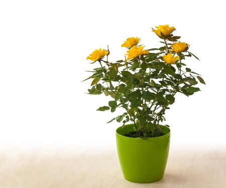 Yellow rose in the green pot on a white background