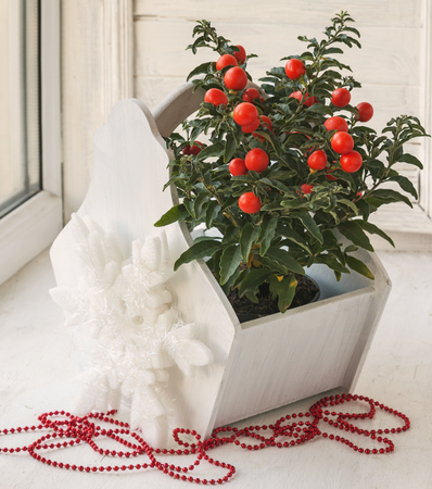 nightshade: Nightshade (Solanum pseudocapsicum) with red fruits for winter holiday on a window Stock Photo