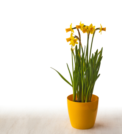 forcing: Yellow daffodils in a yellow pot with space for text on a white background