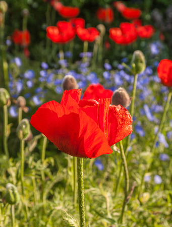 oriental poppy: A flower bed with blooming decorative Papaver orientale (Oriental poppy) and decorative blue Linum perenne (perennial flax,  blue flax or lint)