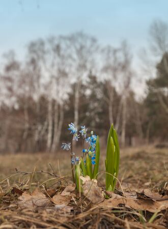 bluebell woods: Scilla siberica (Siberian squill, wood squill) is a species of flowering plant in the family Asparagaceae, growing in the plains and mountain meadows in Europe and Asia. Stock Photo