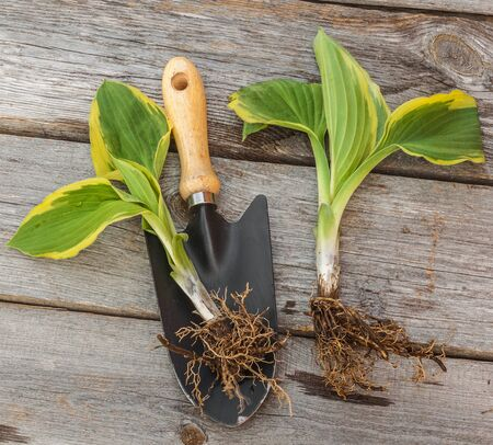 rooted: Two seedlings hosts on wooden surface near the shovel Stock Photo