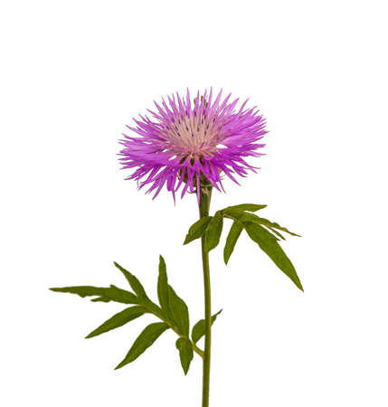 centaurea: Centaurea dealbata (the Persian Cornflower or Whitewash Cornflower) on a white background isolated