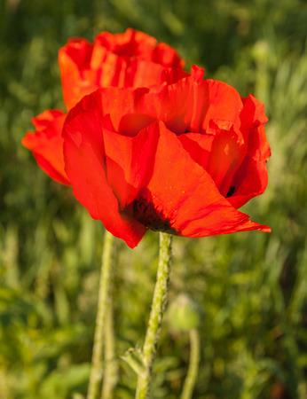 oriental poppy: Single Papaver orientale (Oriental poppy) is a perennial flowering plant native to the Caucasus, northeastern Turkey, and northern Iran Stock Photo