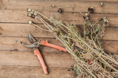 faded: Removing the faded stems of poppy  on a wooden table. Seasonal work in the garden Stock Photo