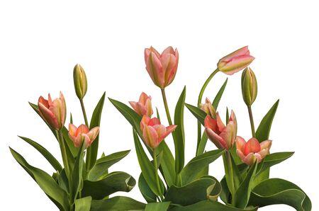tulips isolated on white background: Spring pink tulips on a bed isolated on white background Stock Photo
