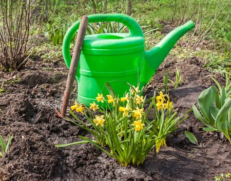 spud: Group of yellow daffodils, watering can and hoe on a bed in a garden with solnechnchny spring day