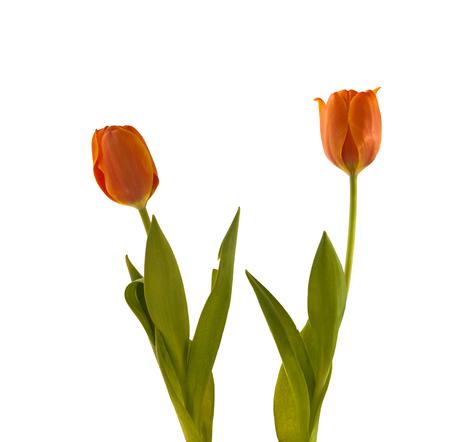 earliest: Simple earliest orange-red tulips on the flowerbed in isolation