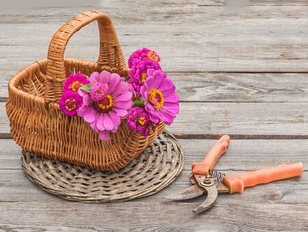 secateur: Bouquet of zinnias in a basket next to a secateurs on an old wooden table
