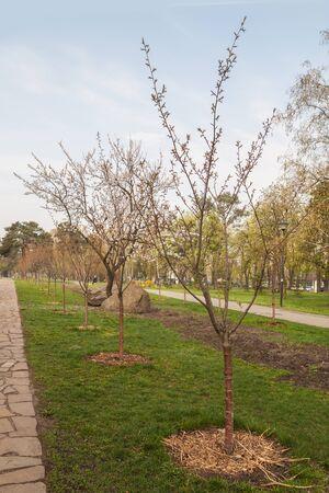 parque de Kyoto de callejón Sakura en Kiev, Ucrania, el resorte temprano por la mañana