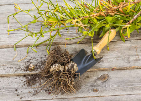 fascination: Tubers and bulbs lilies on a background of wooden table Stock Photo