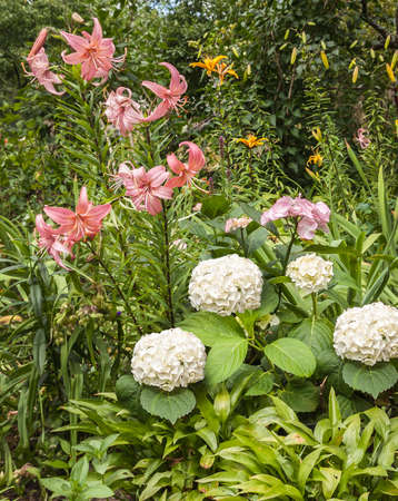 hosts: A flower bed with white and pink hydrangea, pink and yellow lilies Asiatic hybrids with leaves hosts in the foreground Stock Photo