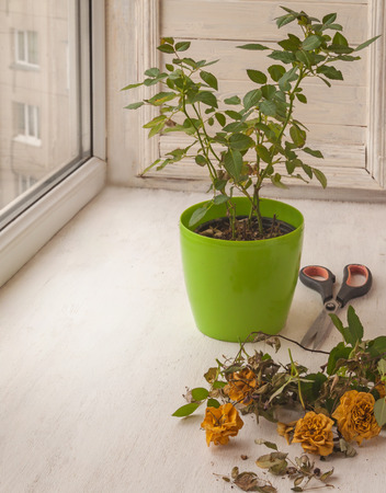 sear and yellow leaf: Shrub roses room in the pot after flowering window